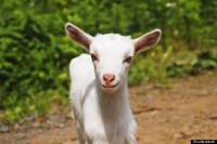 Aposentado se apaixona por cabra e casará com animal na Igreja do Diabo