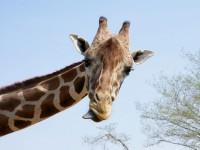 """Pastor afirma que """"brincadeira da foto de girafa"""" no Facebook é """"armadilha do satanismo para gerar pactos involuntários""""; Entenda"""