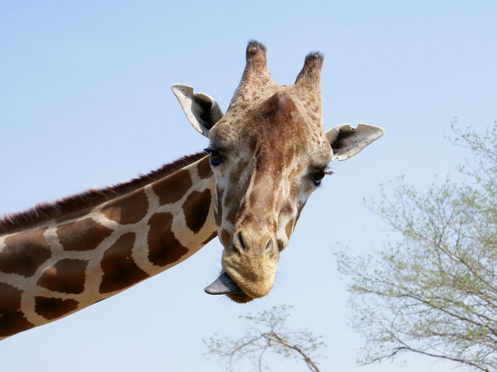http://noticias.gospelmais.com.br/files/2013/10/girafa.jpg