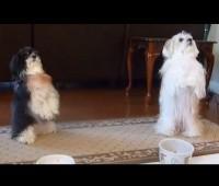 """Vídeo mostra filhotes de cachorro """"fazendo oração"""" antes da refeição; Assista"""